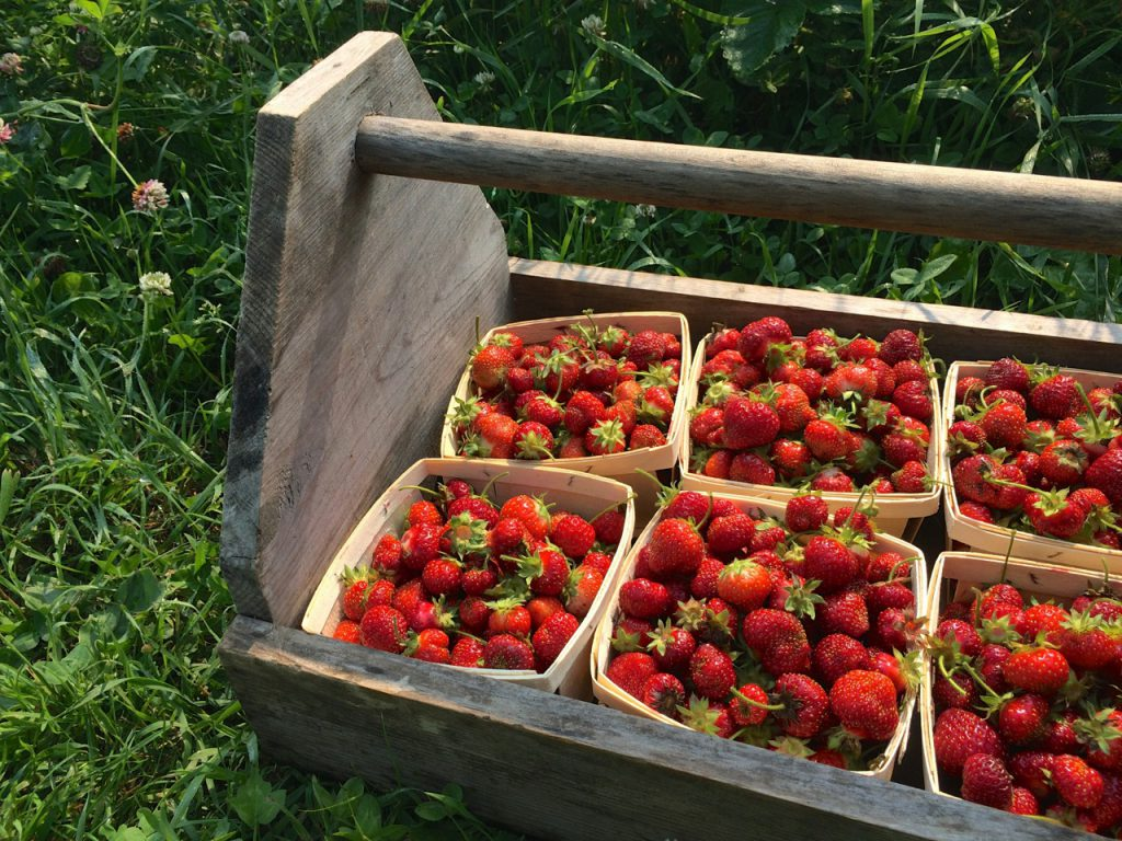 Strawberry Pickin, Guest Post: Simple & Easy Preserving, Whole-Fed Homestead- Beginner's Guide to Dehydrating, Freezing and Fermenting
